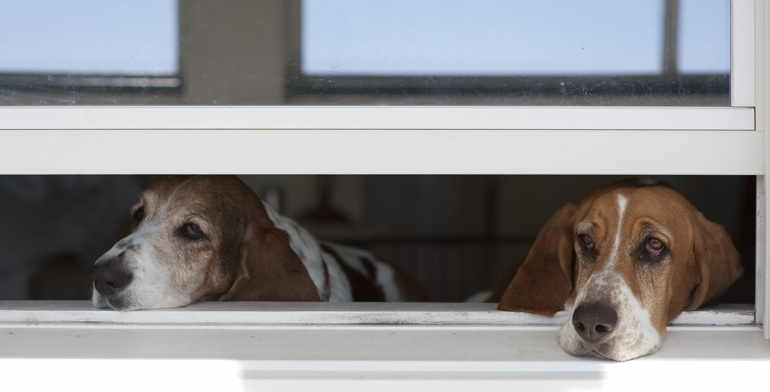 Dogs look out open window with no window treatment in Southern California.